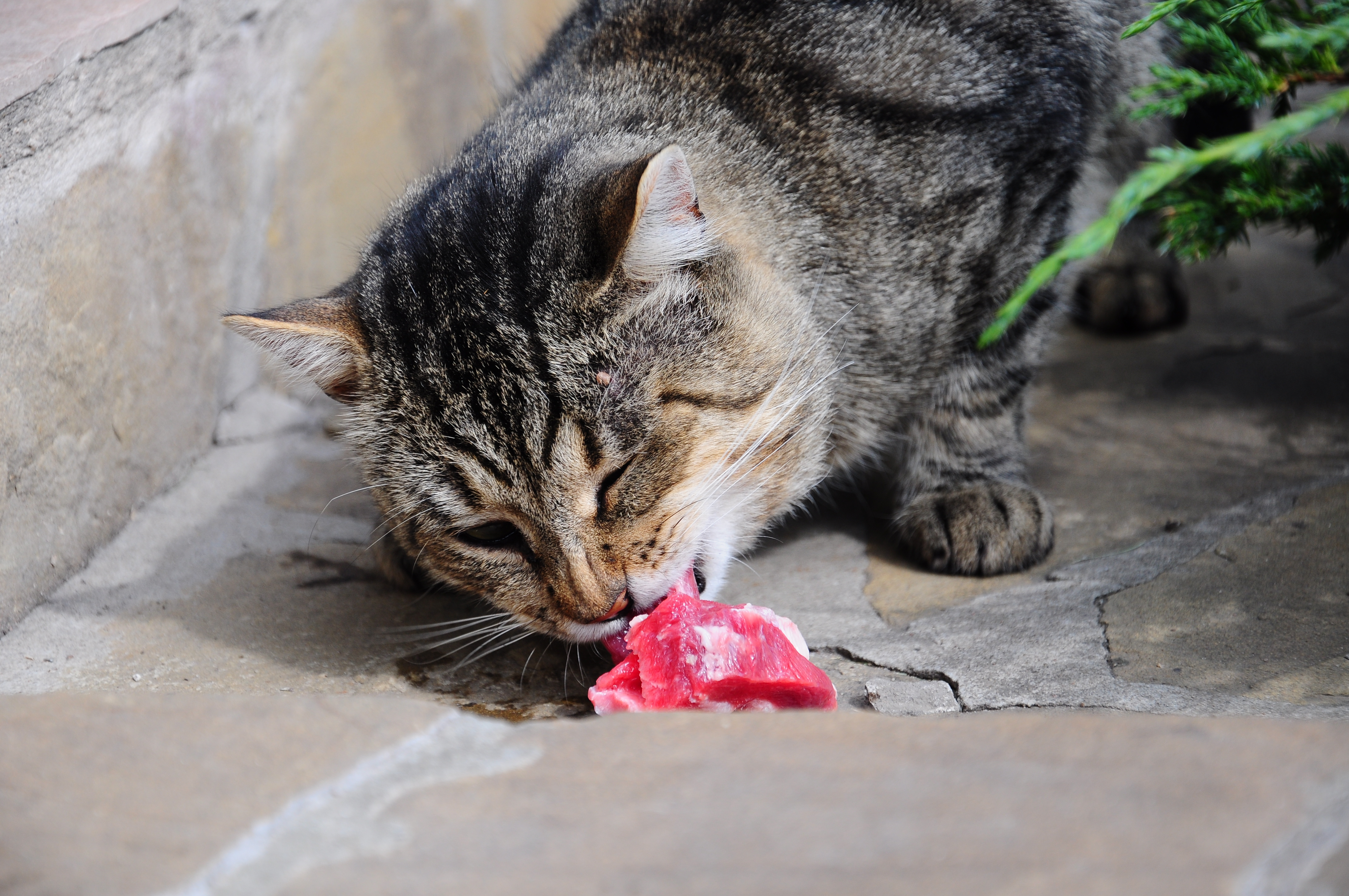An image of a cat eating raw meat. The cat is a a tabby and is sitting outside
