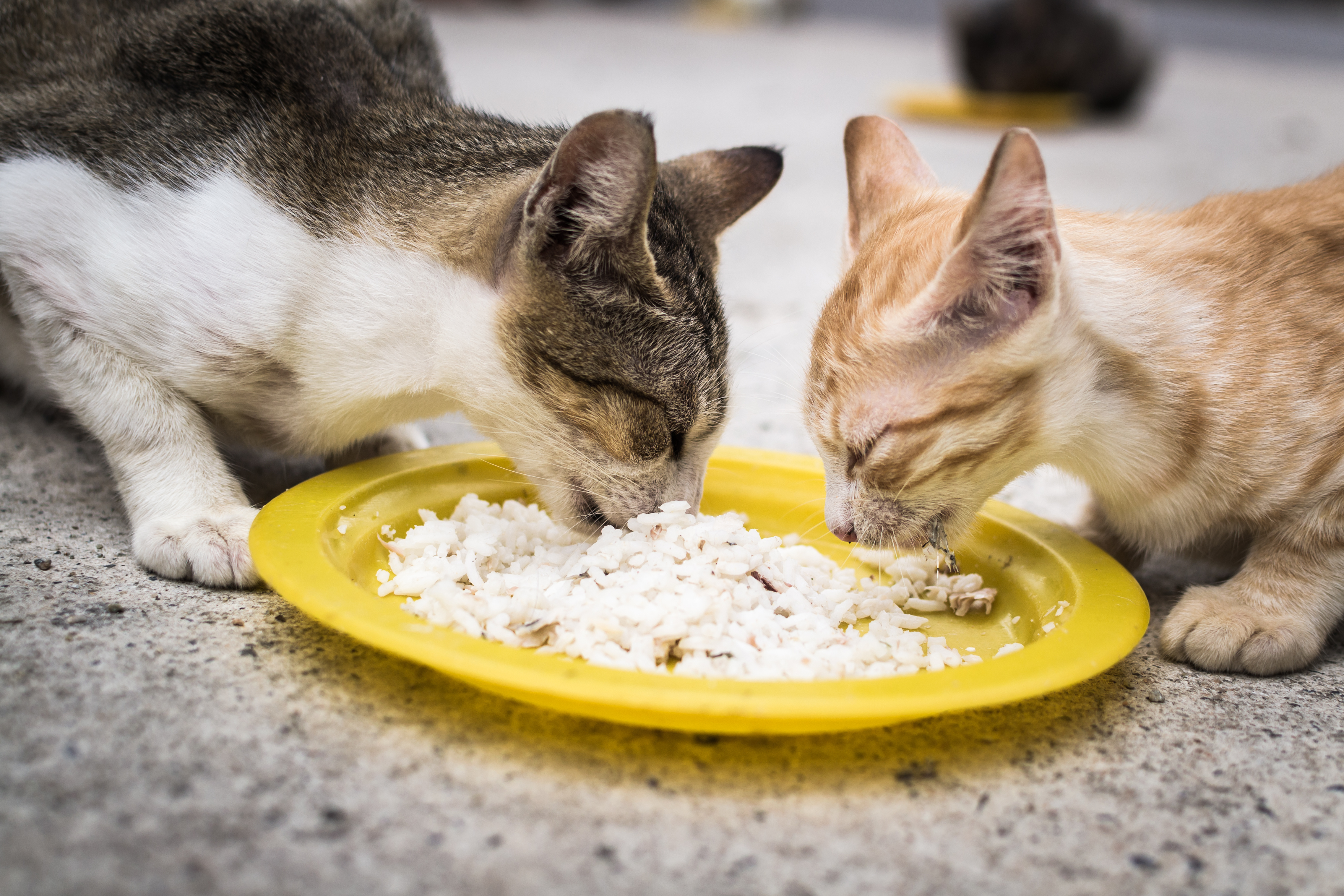 15 cat enthusiasts cat diet tips amp what to feed cats